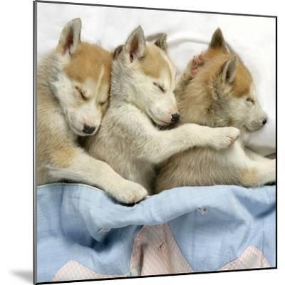 Husky Puppies (7 Weeks Old) Asleep in Bed--Mounted Photographic Print