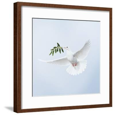 Dove in Flight Carrying Olive Branch in Beak Opeaceo--Framed Photographic Print