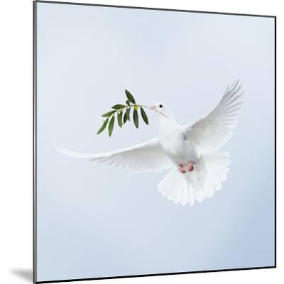 Dove in Flight Carrying Olive Branch in Beak Opeaceo--Mounted Photographic Print