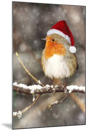 Robin in Falling Snow Wearing Christmas Hat--Mounted Photographic Print