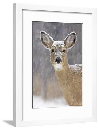 White-Tailed Deer Doe in Winter Snow--Framed Photographic Print