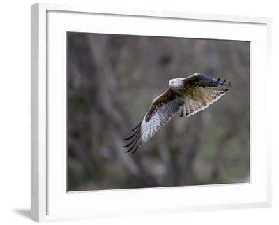 Red Kite in Flight--Framed Photographic Print