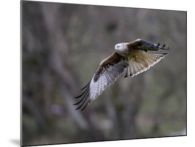 Red Kite in Flight--Mounted Photographic Print