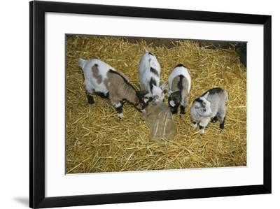 Pygmy Goat Kids Investigating a Polythene Bag--Framed Photographic Print