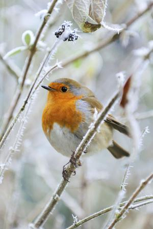 Bird Robin in Frosty Setting--Photographic Print