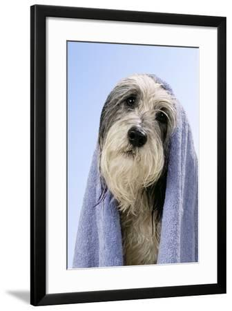 Wet Dog with Towel, Close-Up of Head--Framed Photographic Print