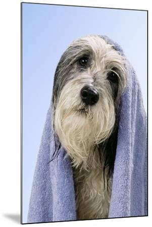 Wet Dog with Towel, Close-Up of Head--Mounted Photographic Print