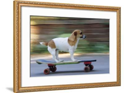 Jack Russell Terrier Skateboarding--Framed Photographic Print