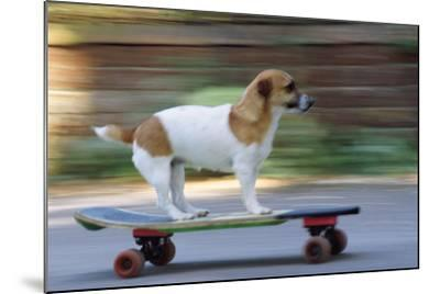 Jack Russell Terrier Skateboarding--Mounted Photographic Print