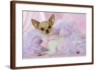Chihuahua Wearing Pink Collar Laying on Purple--Framed Photographic Print