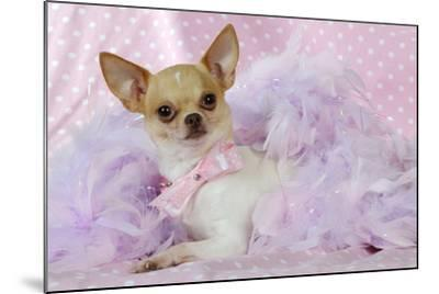 Chihuahua Wearing Pink Collar Laying on Purple--Mounted Photographic Print