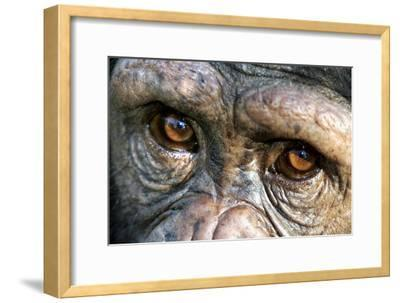 Chimpanzee, Close-Up of Eyes--Framed Photographic Print