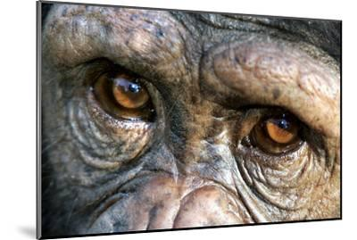 Chimpanzee, Close-Up of Eyes--Mounted Photographic Print