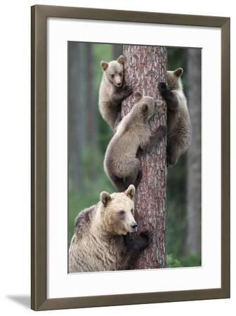Brown Bear Young Bears Clinging on to Tree--Framed Photographic Print