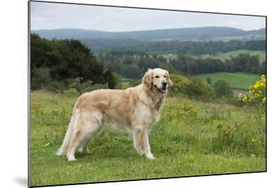 Golden Retriever--Mounted Photographic Print