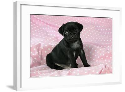 Black Pug Puppy (8 Wks Old)--Framed Photographic Print