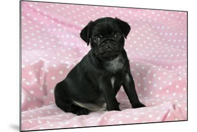 Black Pug Puppy (8 Wks Old)--Mounted Photographic Print