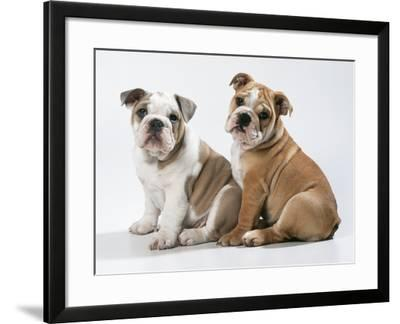 Two BullPuppies, Sitting, Studio Shot--Framed Photographic Print
