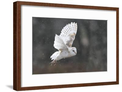 Barn Owl in Flight--Framed Photographic Print