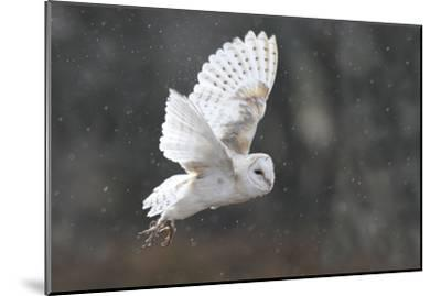 Barn Owl in Flight--Mounted Photographic Print