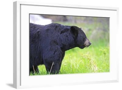 Black Bear Adult Male--Framed Photographic Print