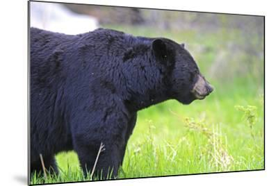 Black Bear Adult Male--Mounted Photographic Print