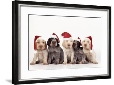 Spinone Dog Puppies Wearing Christmas Hats--Framed Photographic Print