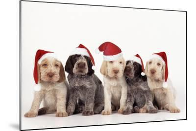 Spinone Dog Puppies Wearing Christmas Hats--Mounted Photographic Print