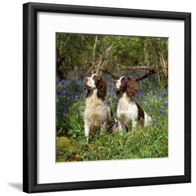 English Springer Spaniel Dogs in Bluebell Woodland--Framed Photographic Print