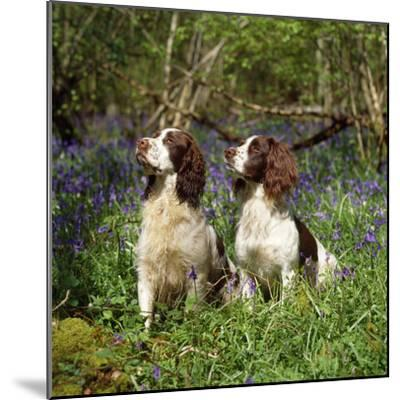 English Springer Spaniel Dogs in Bluebell Woodland--Mounted Photographic Print
