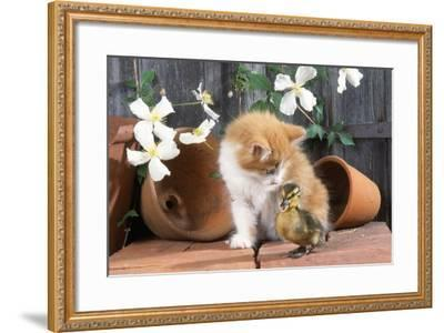 Kitten with Duckling--Framed Photographic Print