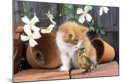 Kitten with Duckling--Mounted Photographic Print
