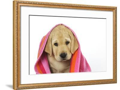 Labrador (8 Week Old Pup) with Towel--Framed Photographic Print
