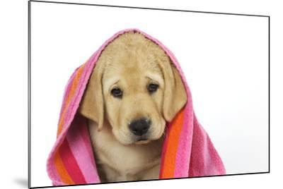 Labrador (8 Week Old Pup) with Towel--Mounted Photographic Print