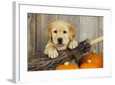 Labrador (8 Week Old Pup) with Broom and Pumpkins--Framed Photographic Print
