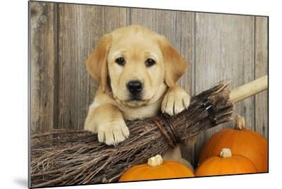 Labrador (8 Week Old Pup) with Broom and Pumpkins--Mounted Photographic Print