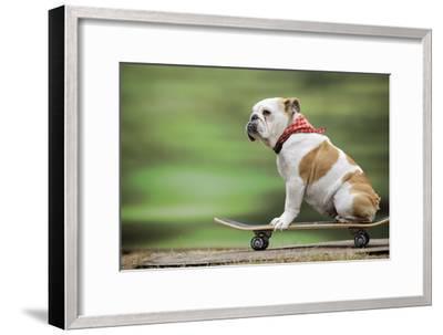 Bulldog on Skateboard--Framed Photographic Print