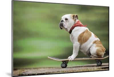 Bulldog on Skateboard--Mounted Photographic Print