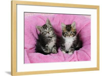 Kittens on Pink Towel--Framed Photographic Print