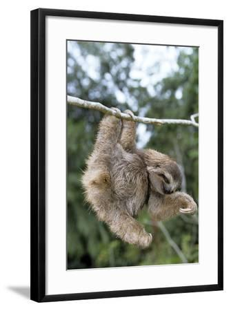 Brown-Throated 3-Toed Sloth--Framed Photographic Print
