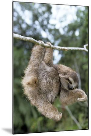 Brown-Throated 3-Toed Sloth--Mounted Photographic Print