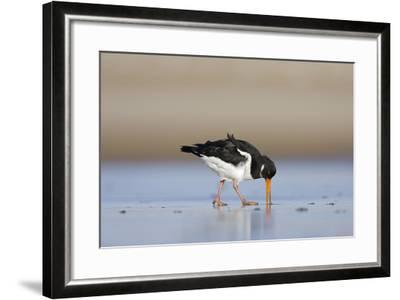 Oystercatcher Probing into the Sand for a Worm--Framed Photographic Print