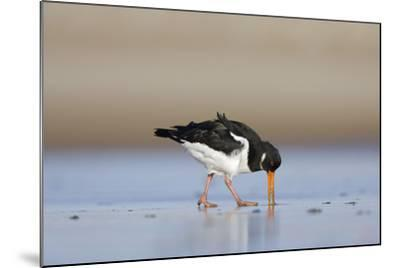 Oystercatcher Probing into the Sand for a Worm--Mounted Photographic Print
