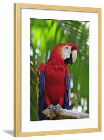 Scarlet Macaw--Framed Photographic Print