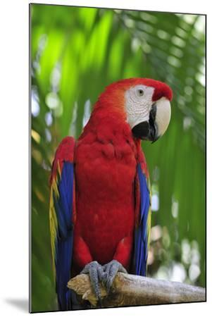 Scarlet Macaw--Mounted Photographic Print