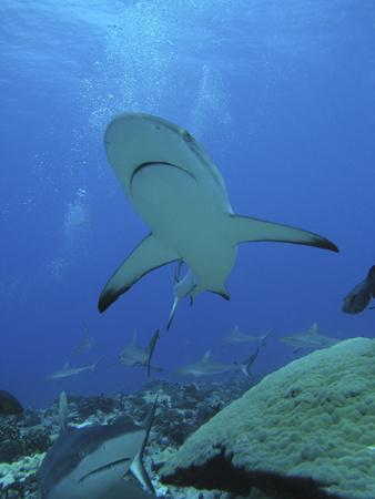Grey Reef Sharks--Framed Photographic Print