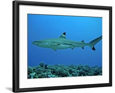 Blacktip Reef Shark Male Considered--Framed Photographic Print