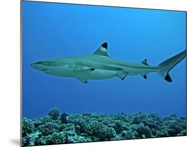 Blacktip Reef Shark Male Considered--Mounted Photographic Print