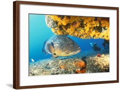 Grouper by Coral with Scuba Diver--Framed Photographic Print