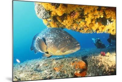 Grouper by Coral with Scuba Diver--Mounted Photographic Print